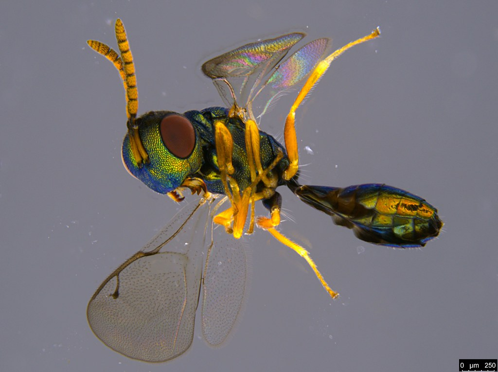 16a - Pteromalidae sp.