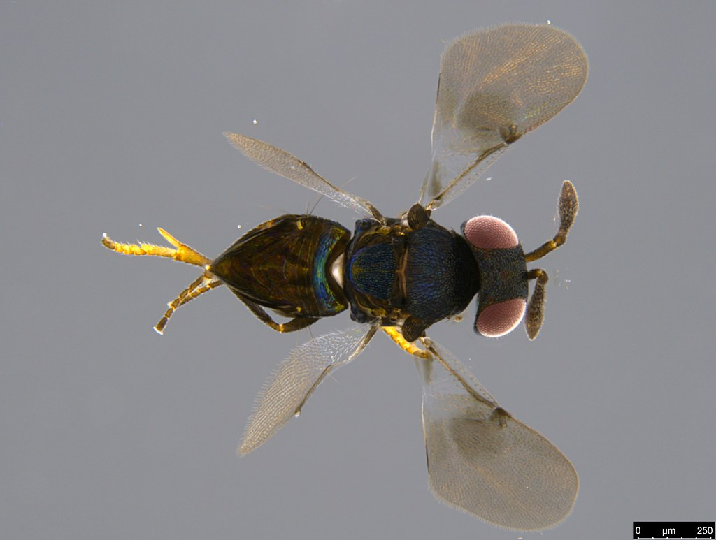 17a - Pteromalidae sp.