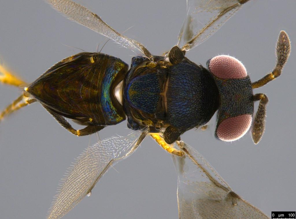 17b - Pteromalidae sp.