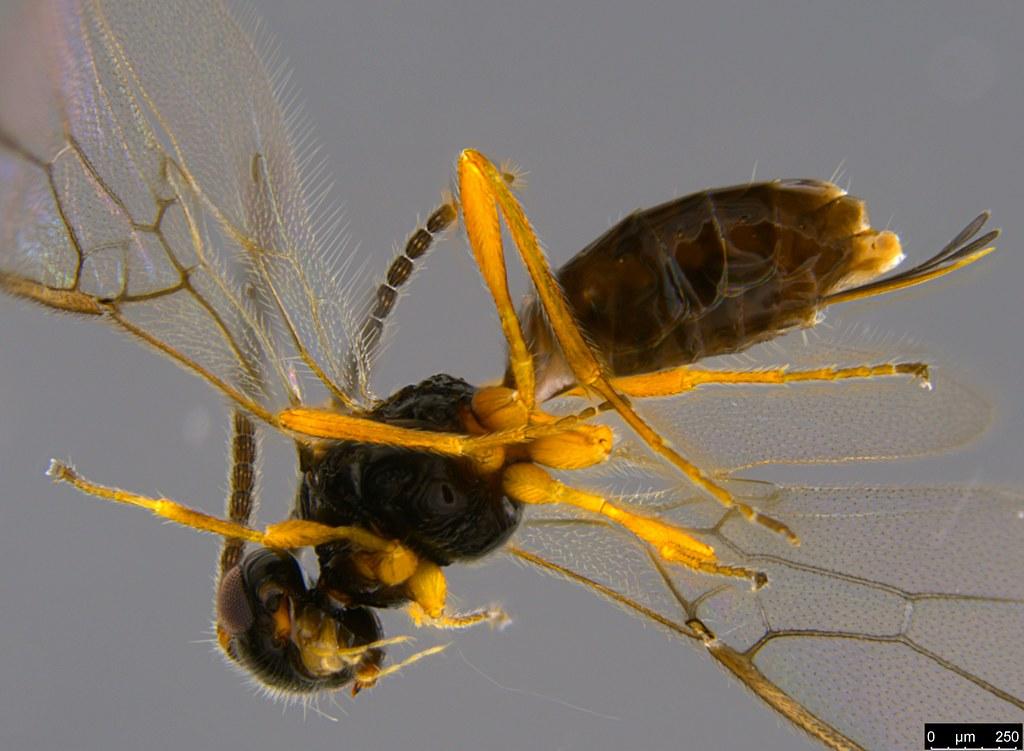 19c - Braconidae sp.