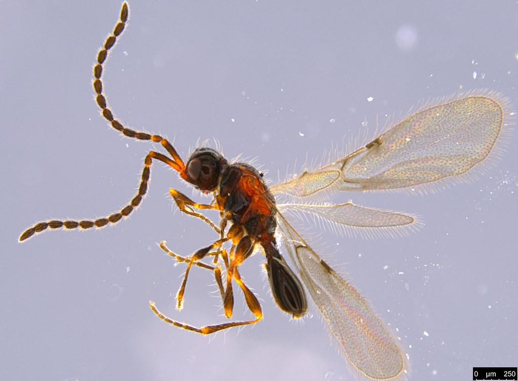 21b - Diapriidae sp.