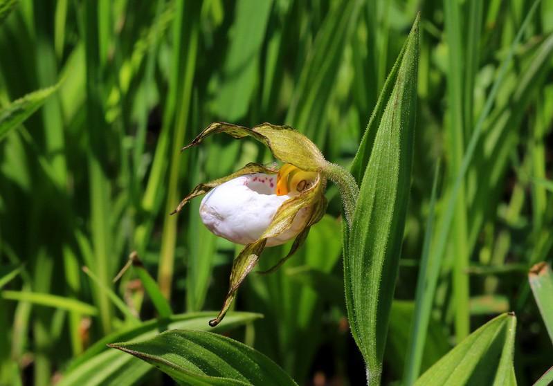 small white lady's-slipper (Cypripedium candidum) in northeast Iowa 653A2341