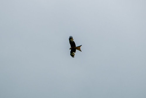 Red kites, Montgomery