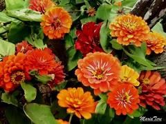 Flores Zinnias...