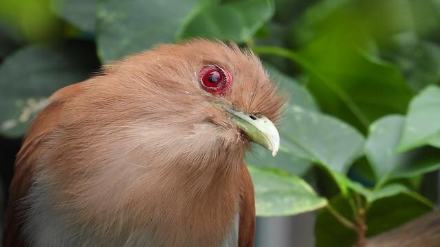 Alma-de-gato - Squirrel Cuckoo