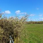 Spring blossom out at Cottam, Preston