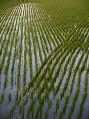Intersecting rice paddy