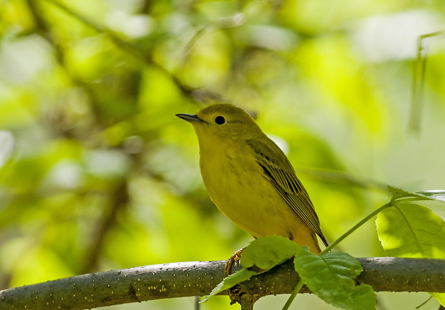 0P7A9104   Yellow Warbler, Canada