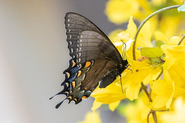 Black Swallowtail on Jasmine