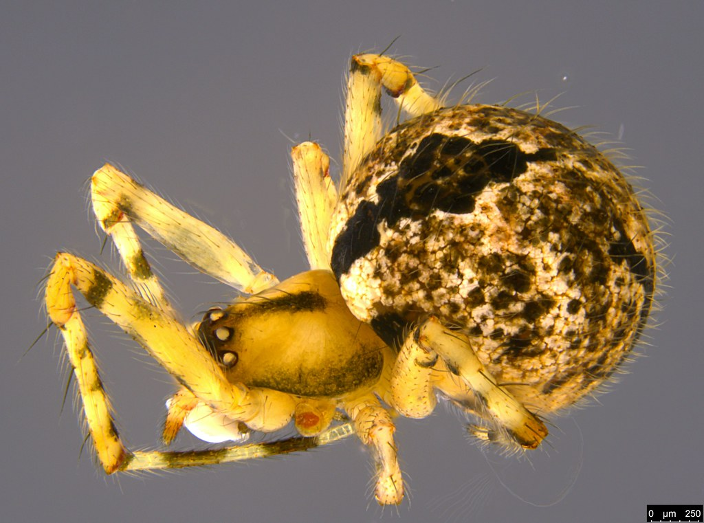 6 - Cryptachaea veruculata (Urquhart, 1886)