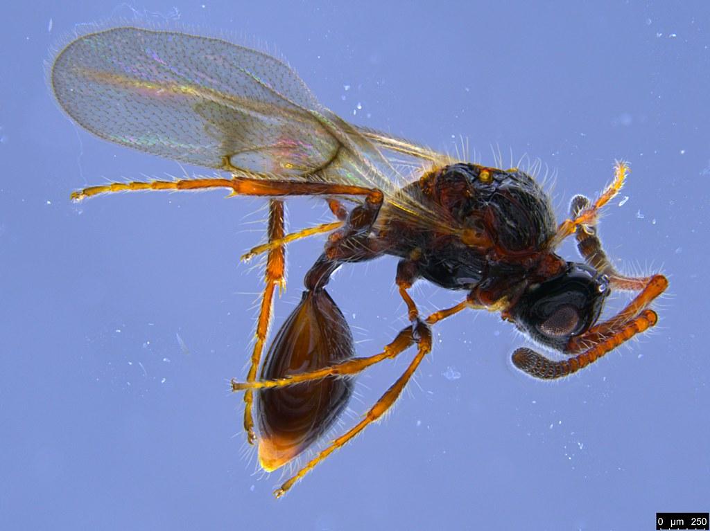 24a - Diapriidae sp.