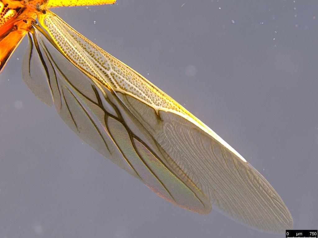 10e - Mutusca brevicornis (Dallas, 1852)
