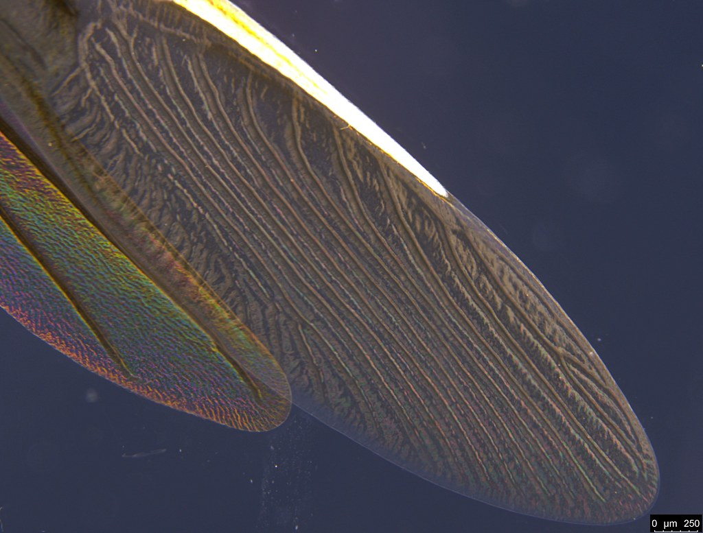 10f - Mutusca brevicornis (Dallas, 1852)