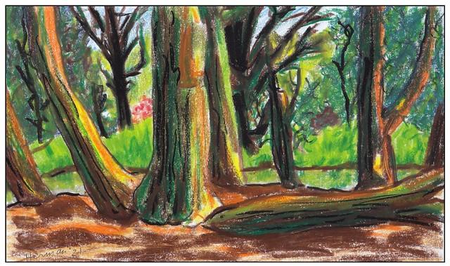 Reuzenlevensboom uit 1870 / giant red cedar planted in 1870