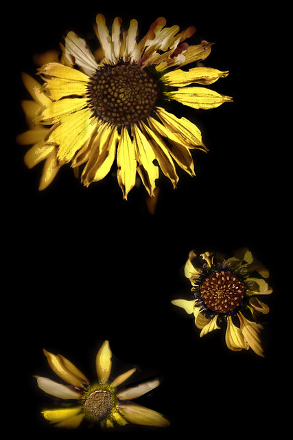 ☼ SUNflower ❀ SUNCOkret ☼ SONNENblume ✿ GiraSOL ☼ TourneSOL ✿ MiraSOL ☼ सूरजमुखी ❀