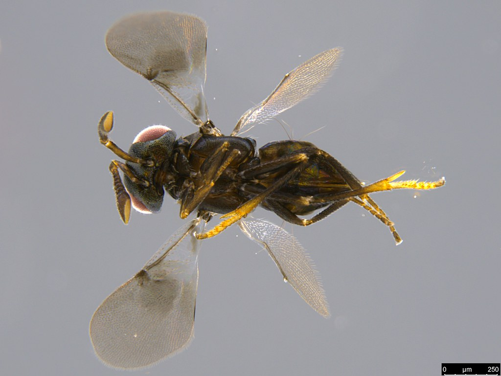 17c - Pteromalidae sp.