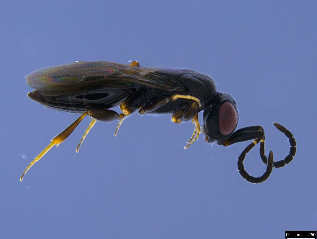 18b - Hymenoptera sp.