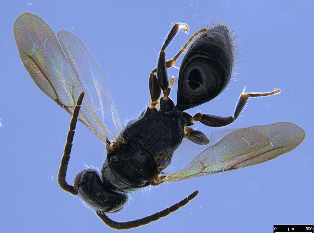 20c - Bethylidae sp.