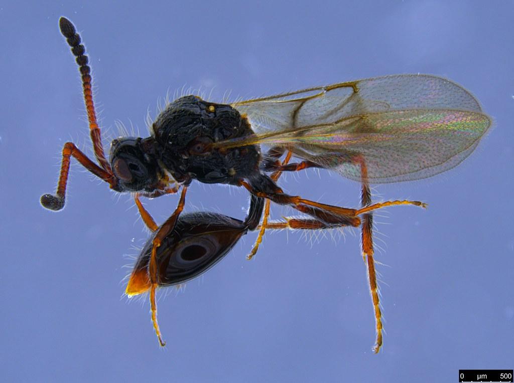 22a - Diapriidae sp.