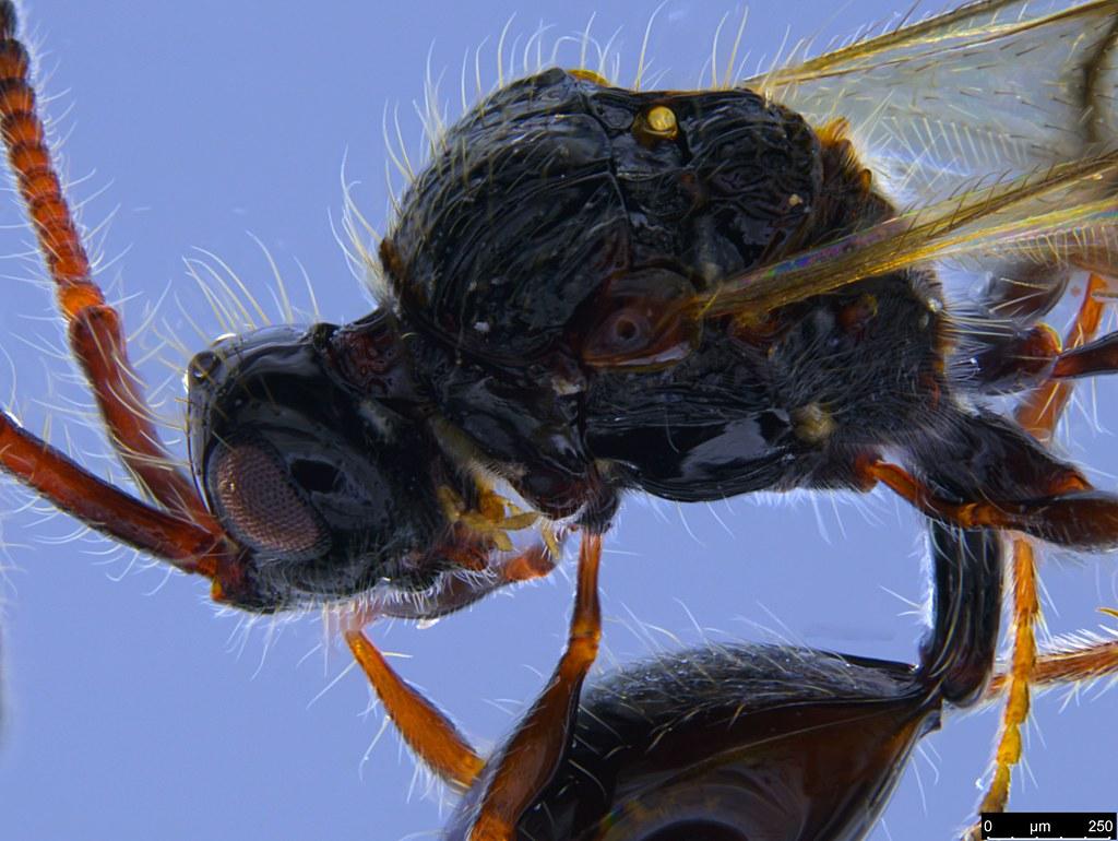 24d - Diapriidae sp.