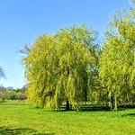 Willow tree at Haslam Park, Preston