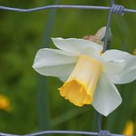 Late Spring daffodil