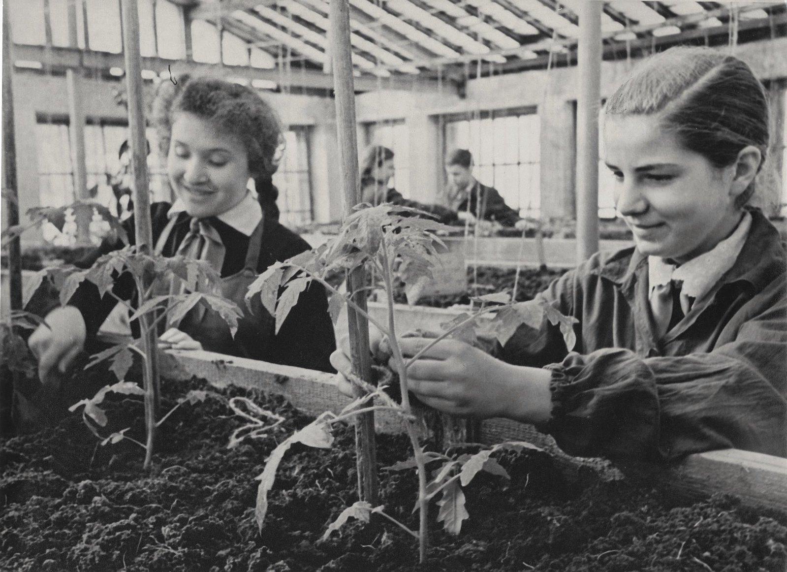 1950. В школьной теплице