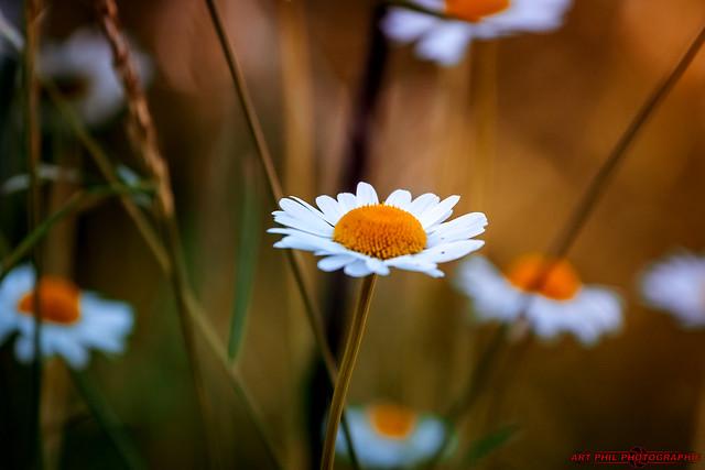 Fleurs et Pétales de Couleurs du Soir