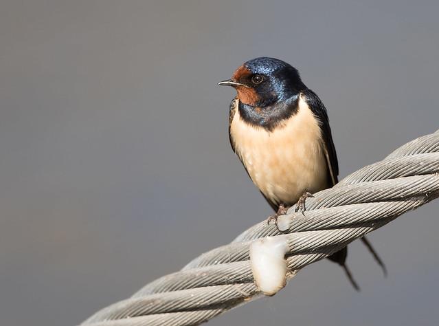 Barn swallow - Rauchschwalbe