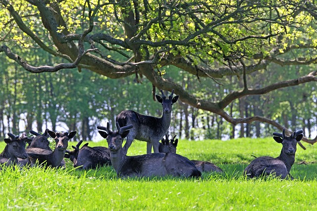 Fallow deer in the shade of a woodland clearing.