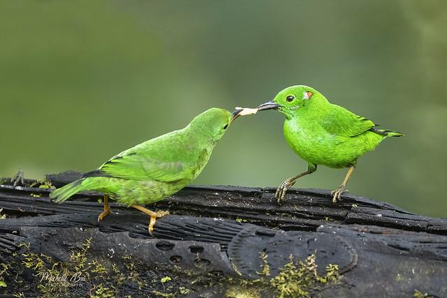 _DSC4960 _ Glistening-green Tanager feeding