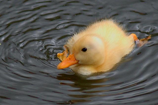 Custard coloured duckling