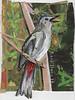 23 MAY Gray Catbird214