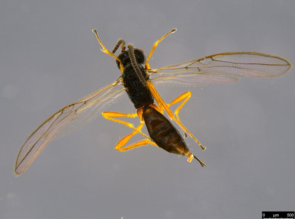 19a - Braconidae sp.