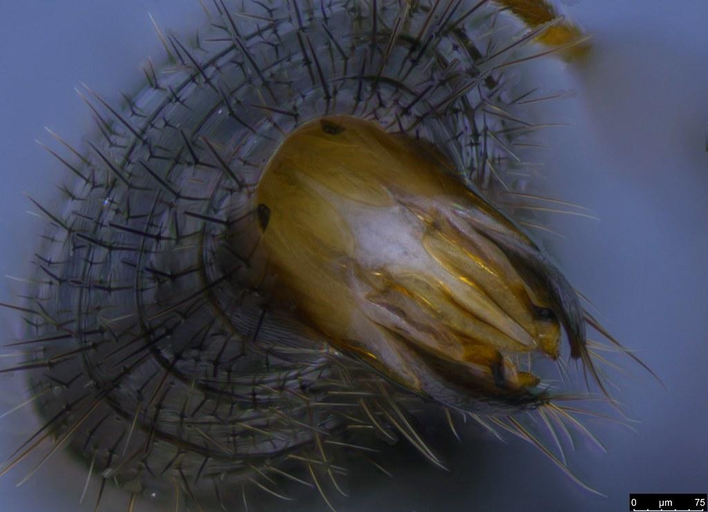 20d - Bethylidae sp.