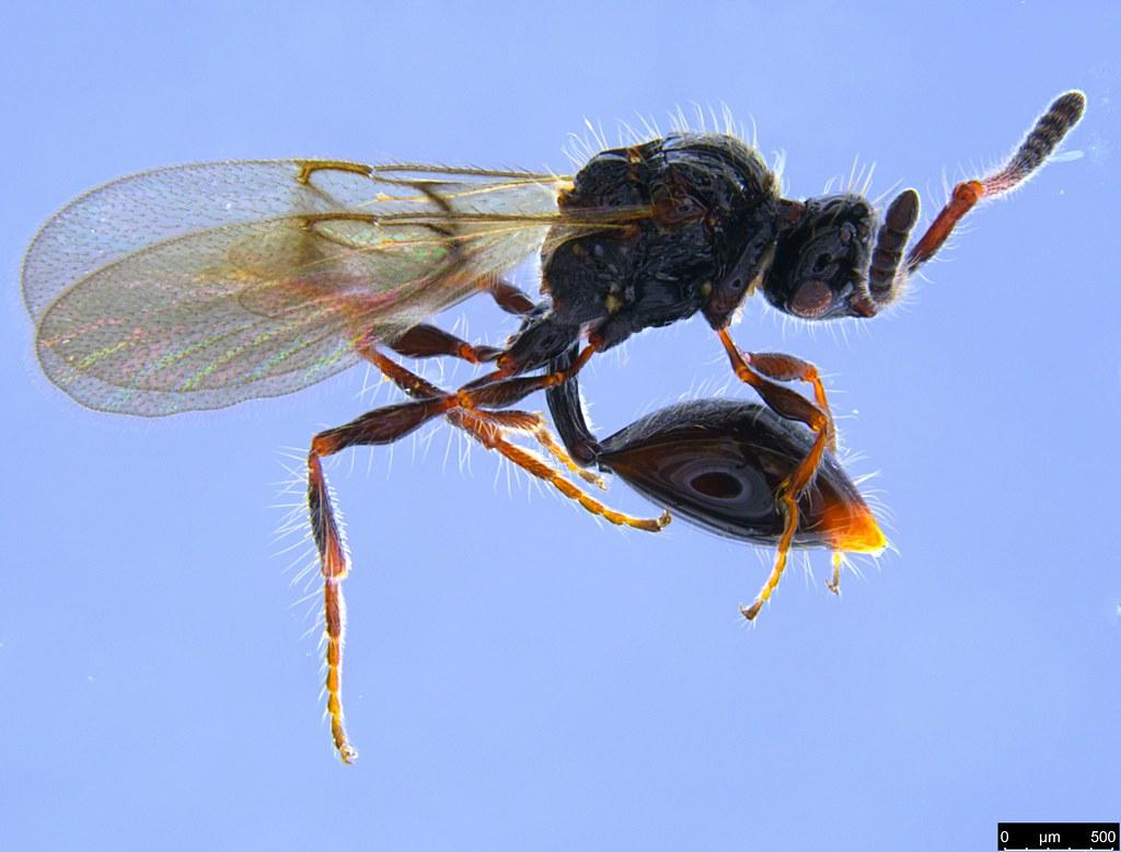 22b - Diapriidae sp.