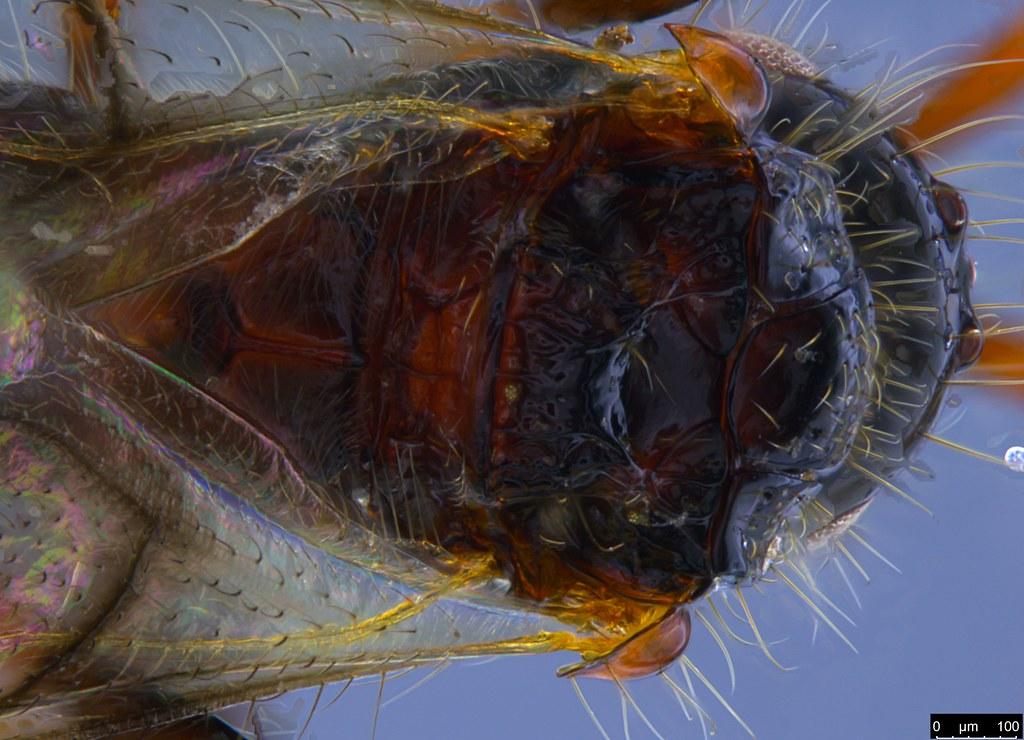 24c - Diapriidae sp.