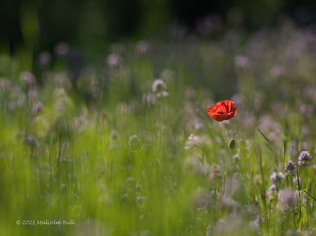 Lone Poppy - Wakehurst Place