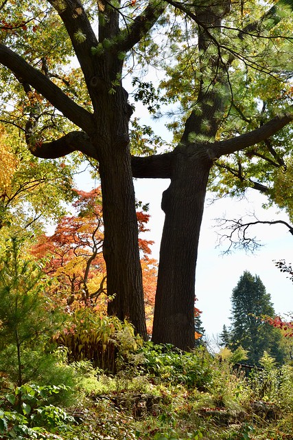 Beautiful Fall colours on trees , scrubs and two large trees close together in High park (Bloor St West) ,  cropped photograph , Martin's photographs , Toronto , Ontario , Canada , October 19. 2014
