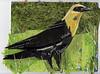 23 MAY Yellow Throated Blackbird212