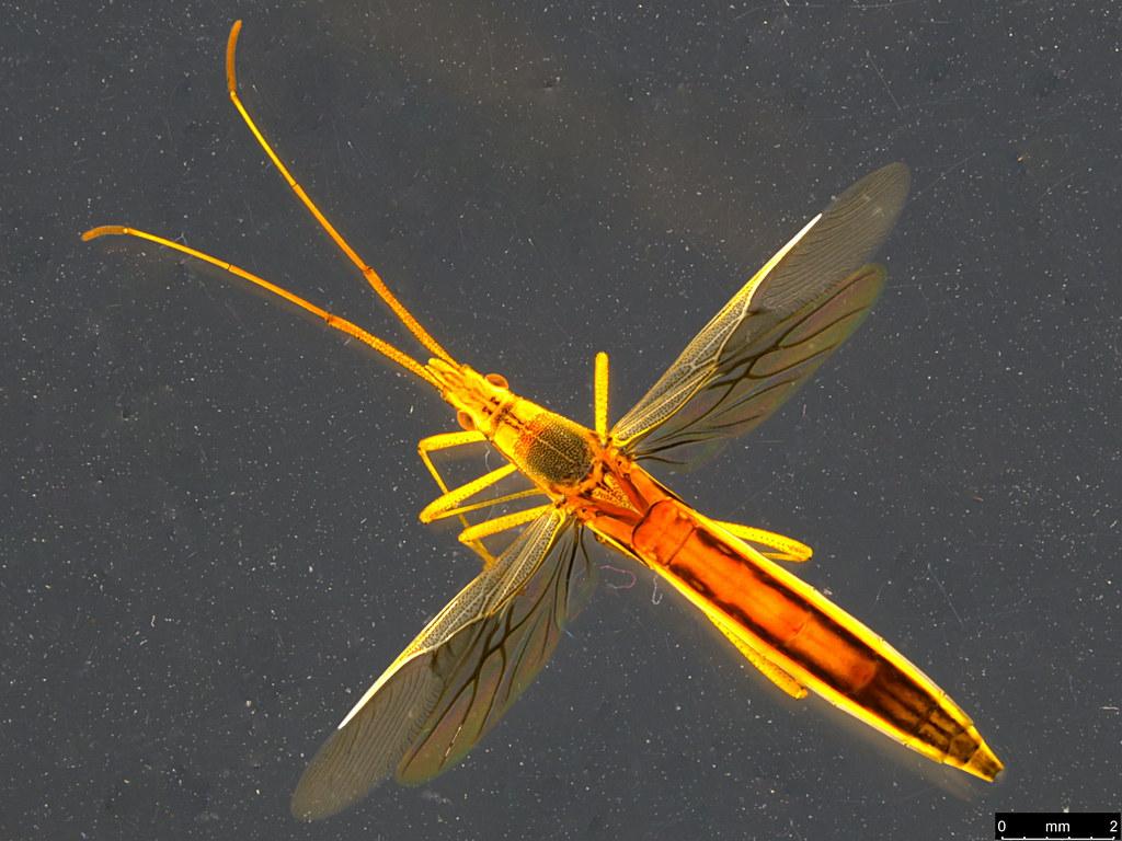 10a - Mutusca brevicornis (Dallas, 1852)