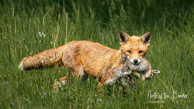 Fox and its lunch