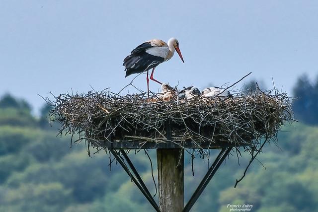 Cigogne blanche (Ciconia ciconia) White Stork