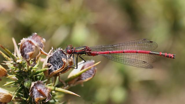 Large red damselfly ~ Pyrrhosoma nymphula