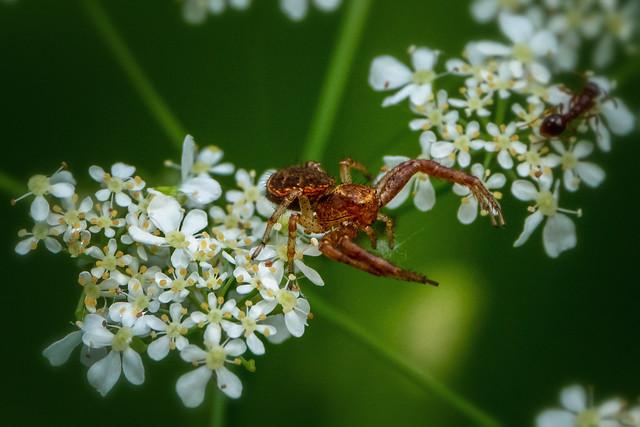 Krabbenspinne (Ozyptila praticola)