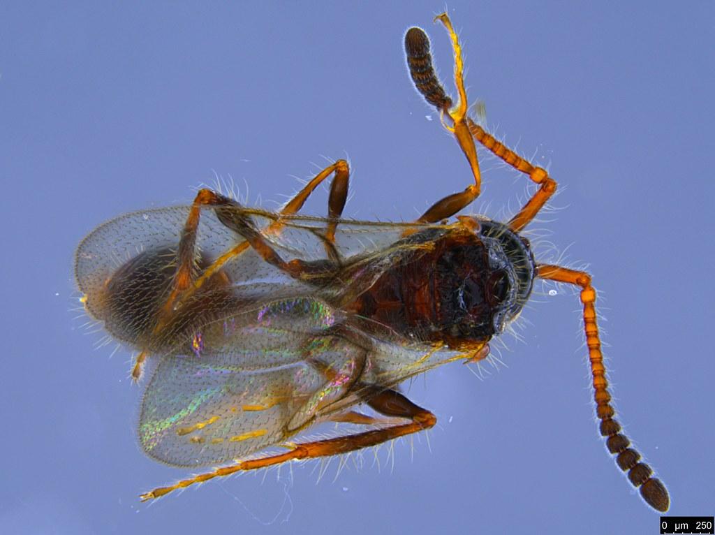 24b - Diapriidae sp.