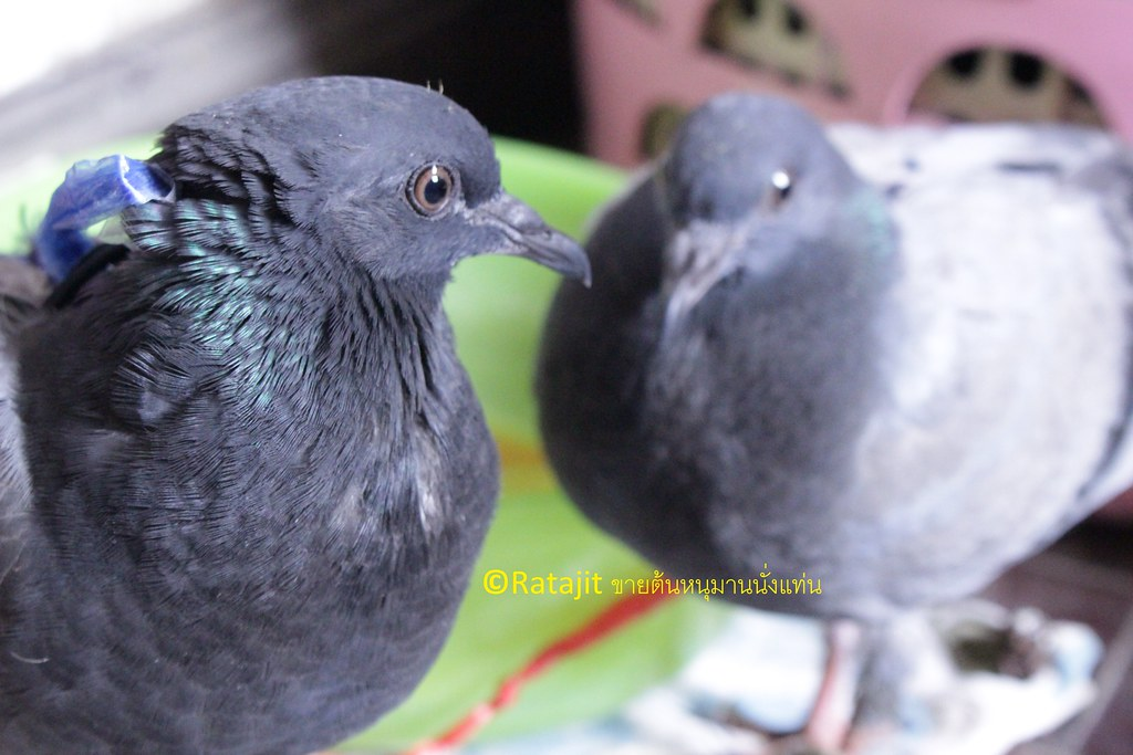 Lost of pigeon eggs
