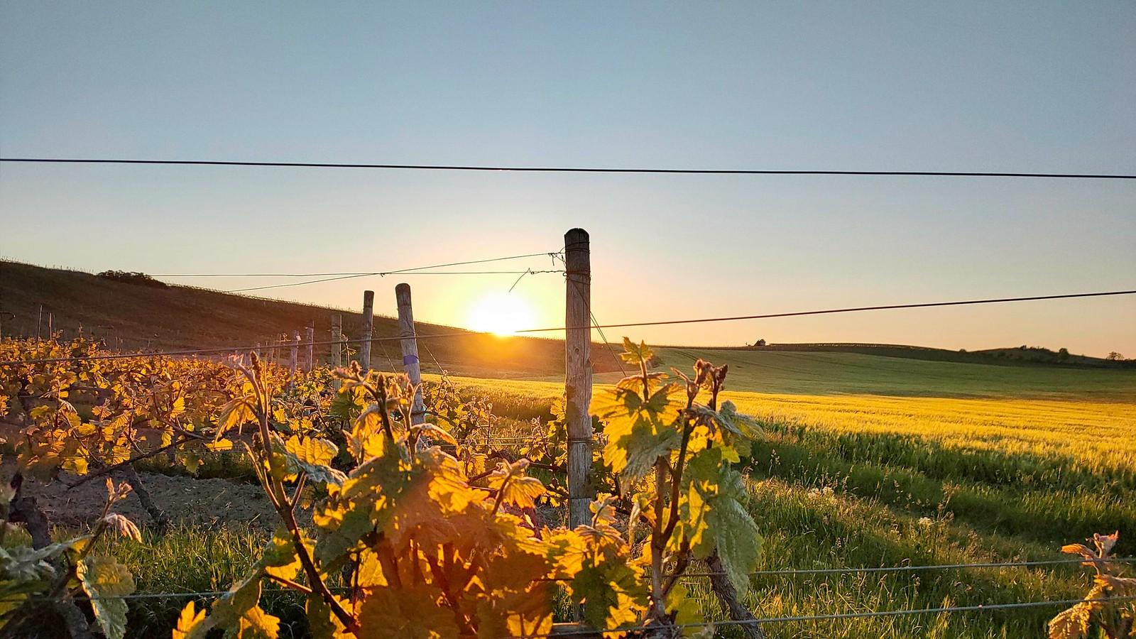 Sonnenaufgang über den Weinbergen von Selzen