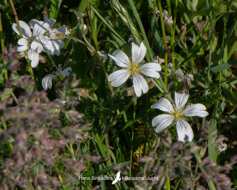 Akkerhoornbloem (Cerastium arvense)-850_3389