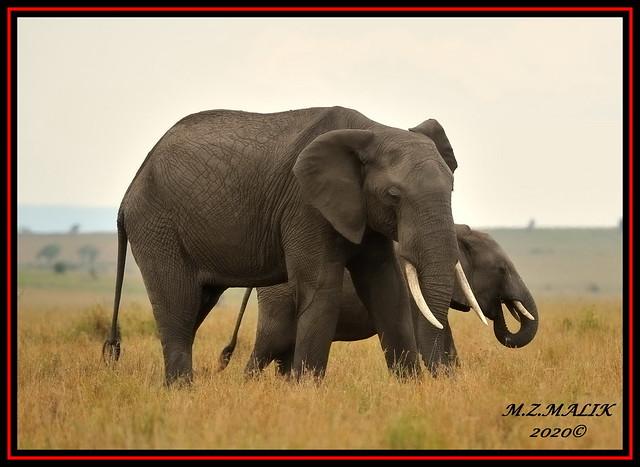 FAMILY OF AFRICAN ELEPHANTS (Loxodonta africana)......MASAI MARA......OCT 2020.